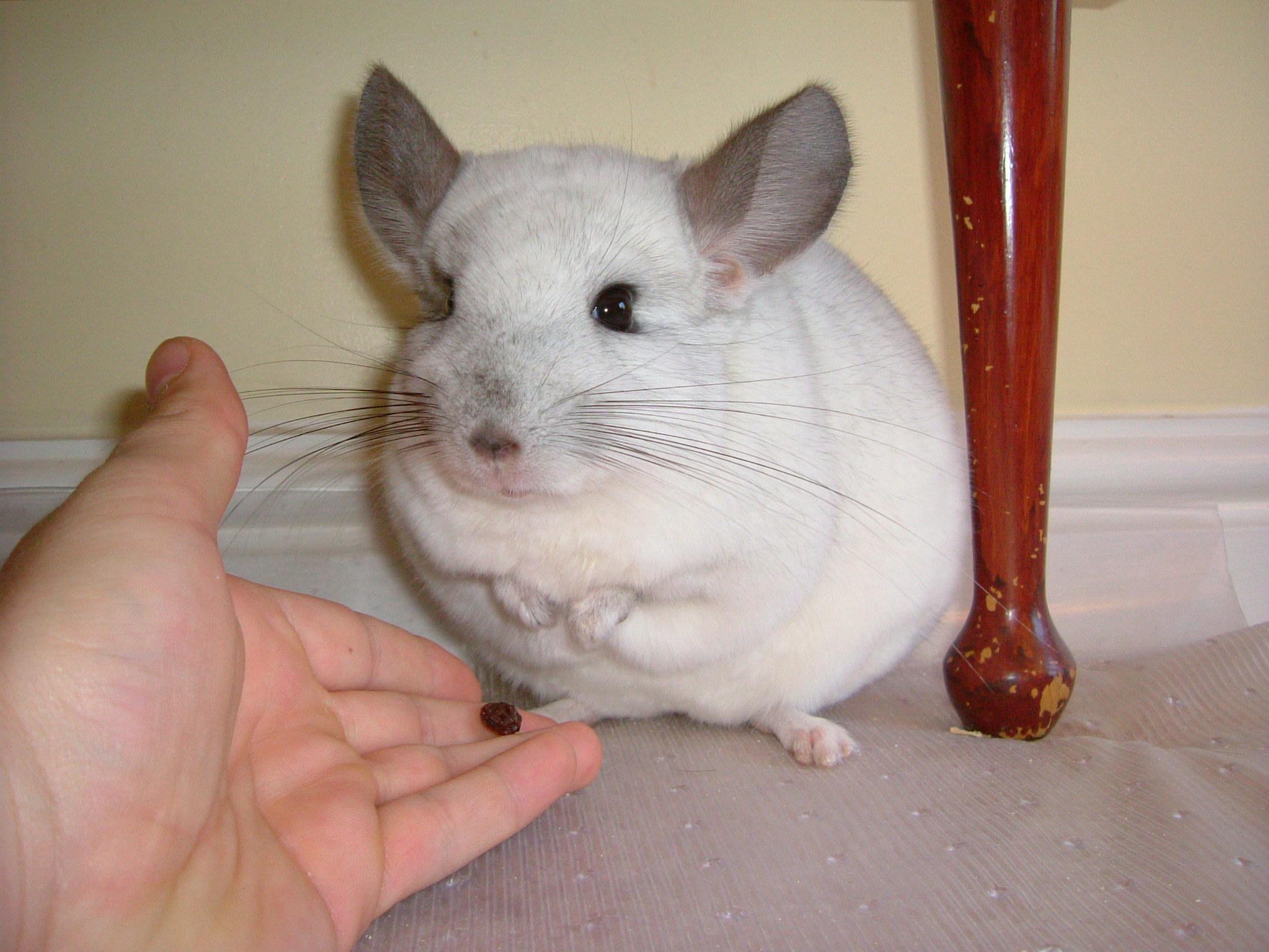 Een chinchilla als huisdier?